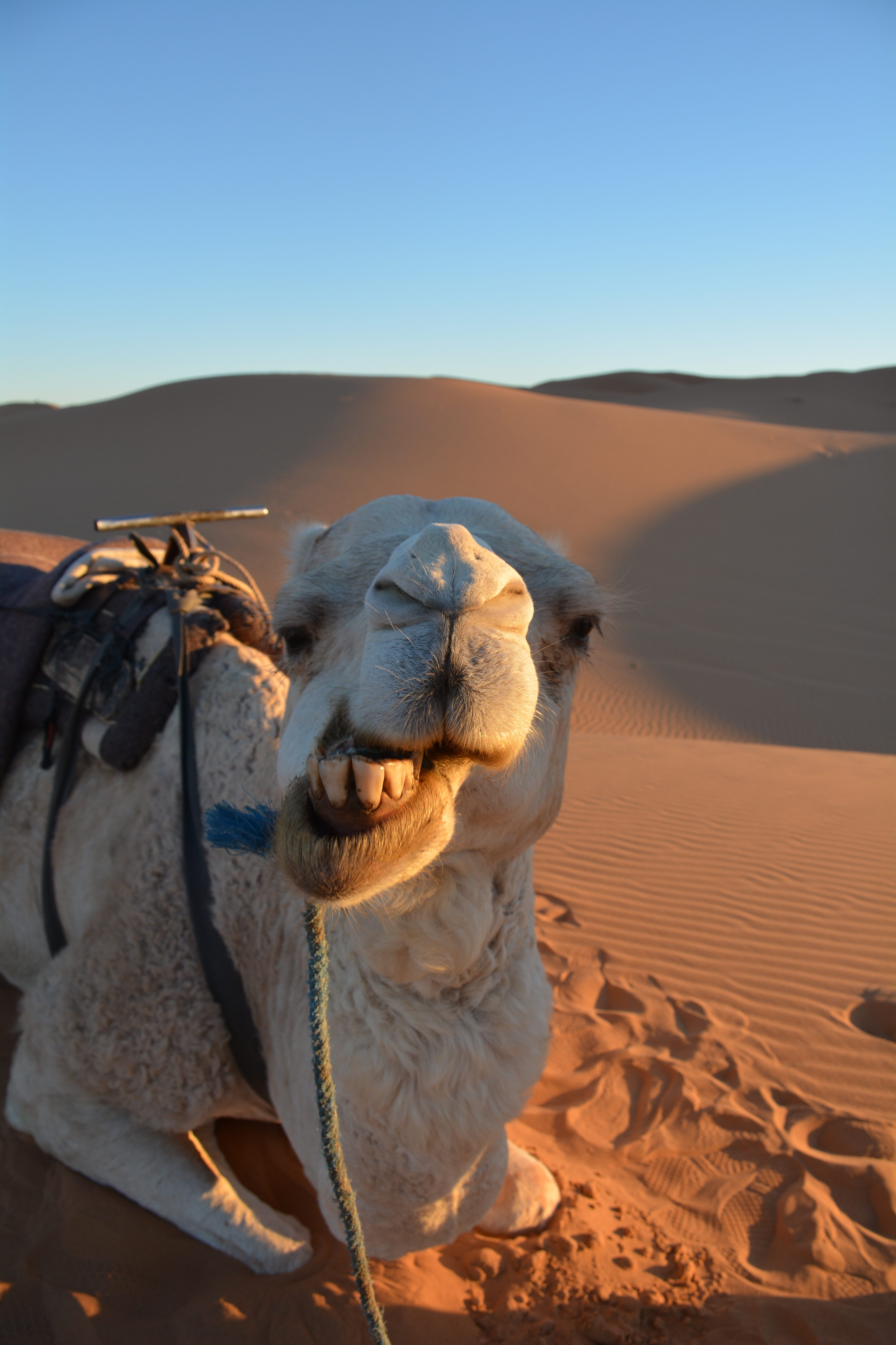 Camel in Erg Chebbi Dunes